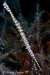 Saw blade shrimp. A very interesting subject that are qui... by Gurney Fermin 